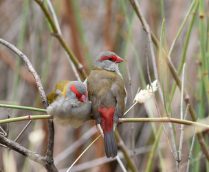 Red Browed Finches, Geelong, Vic