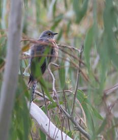 Cuckoo Fan tailed Geelong Vic