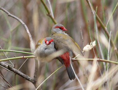 Red Browed Finches Geelong Victoria