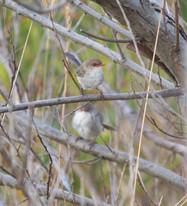 Fairy wren, Geelong