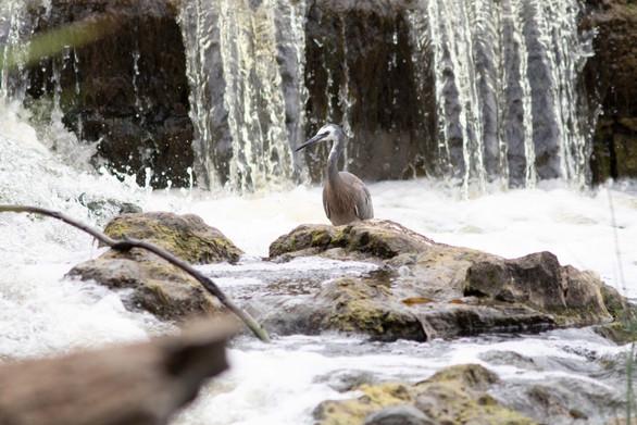 White faced heron,Geelong, vic