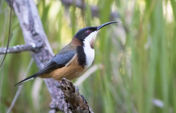 Eastern Spinebill male