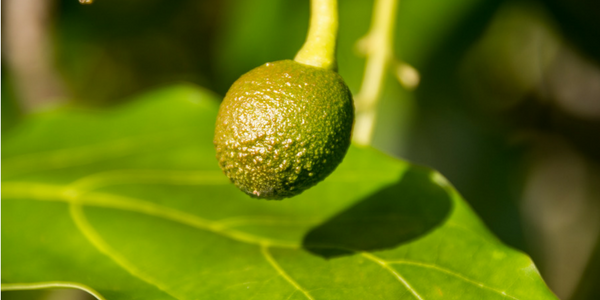 The Alligator Pear: A True Story