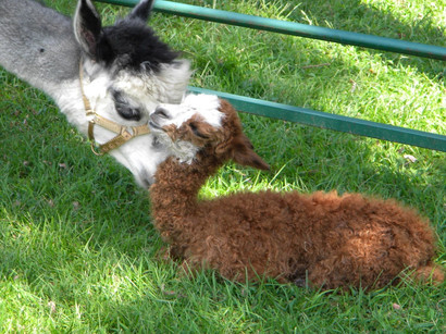 Our Alpaca Farm was established in 2005.