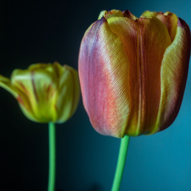 Tulips in color.