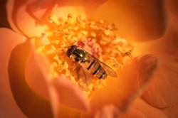 Zinger Bees