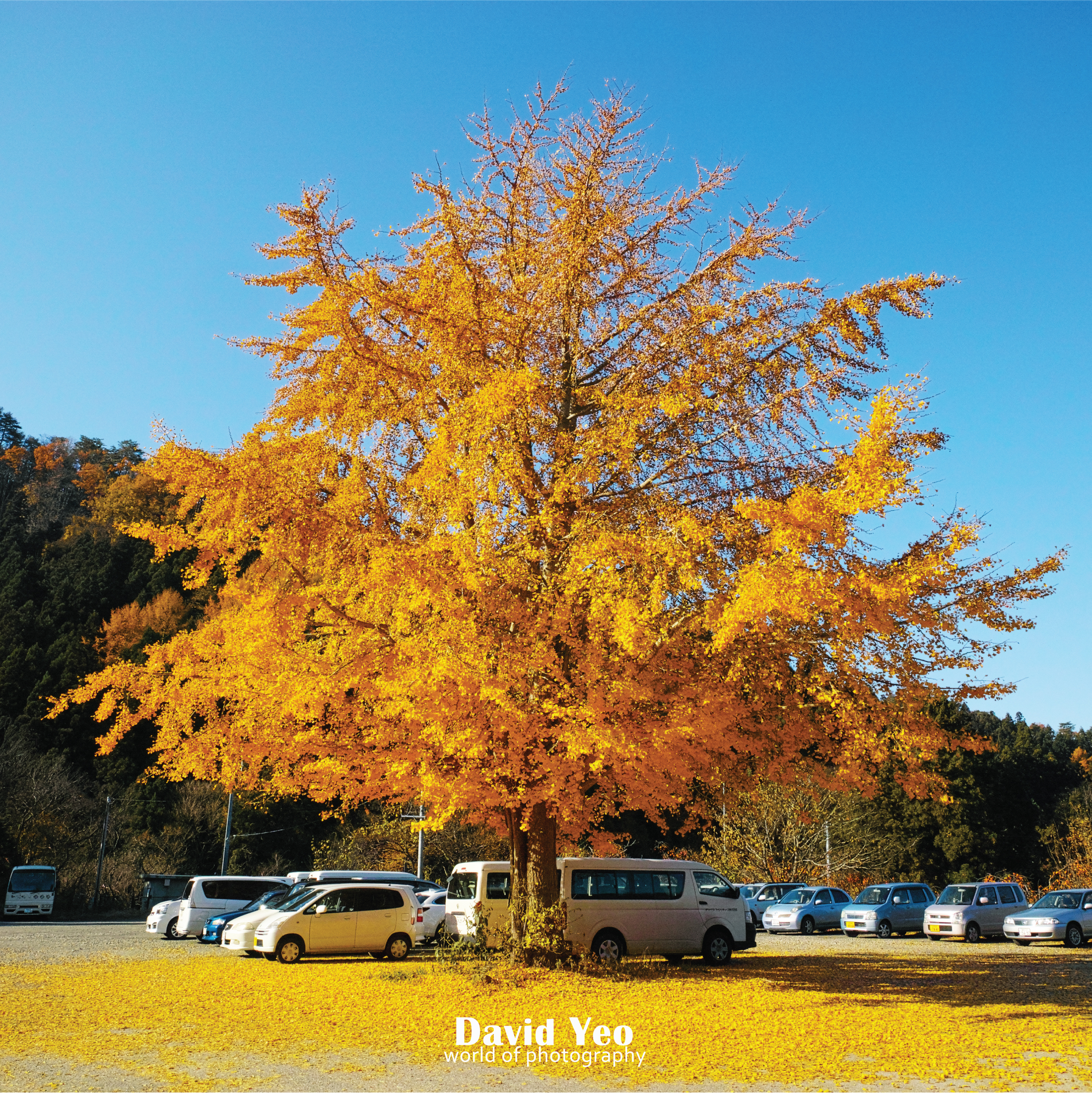 Golden Tree Photo Gallery
