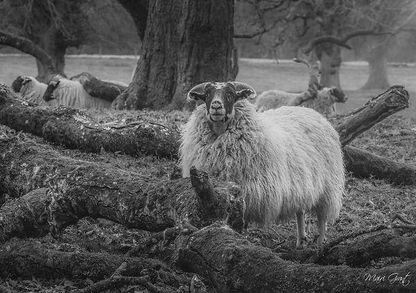 IMG_1396-2 2 sheep fr fb (Copy).jpg