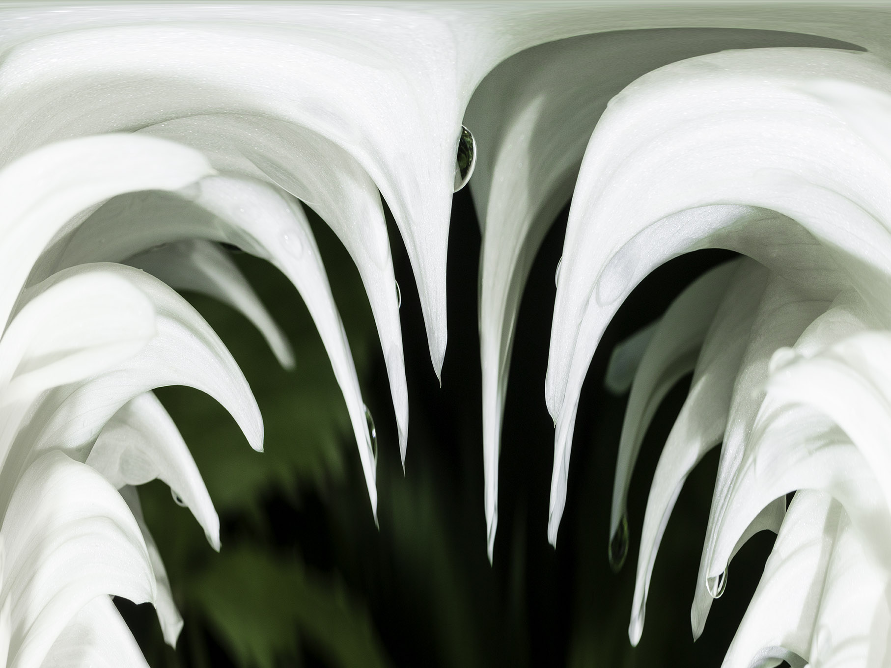 White Dahlia #1