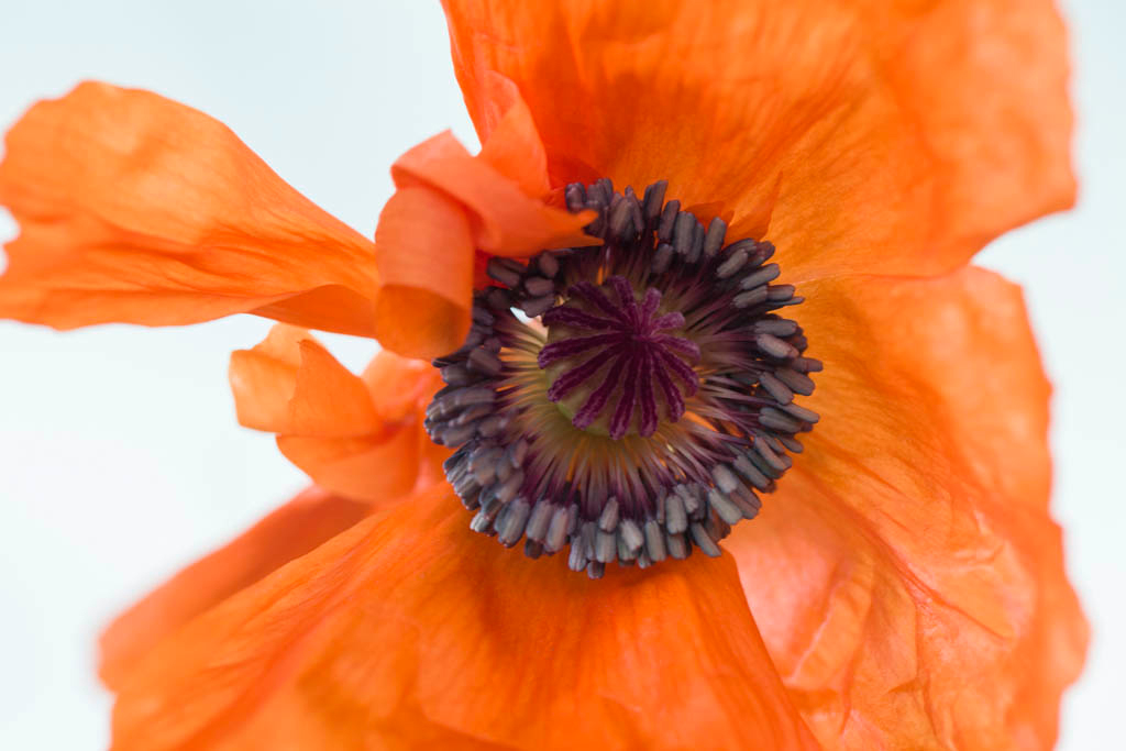 Dancing Poppy II