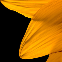 Sunflower Pedal