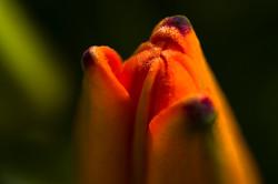 Orange Tip Top