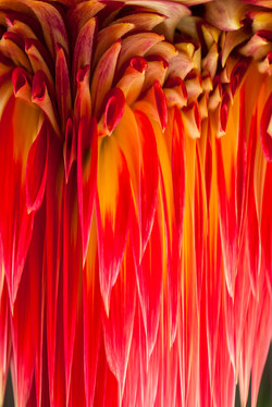 Orange Dahlia # 1