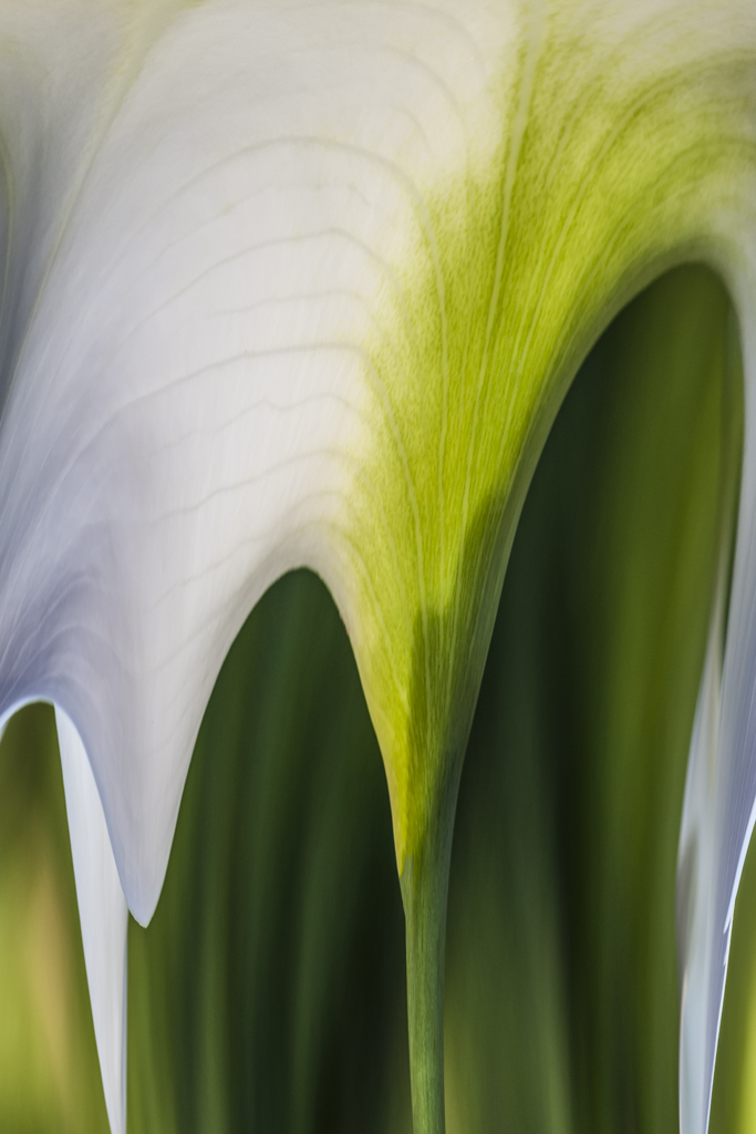 White Lily Abstract # 1