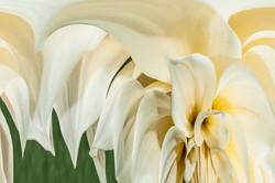White Dahlia #2