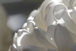 White Chrysanthemum II