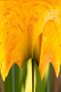 Yellow Tulip Abstract