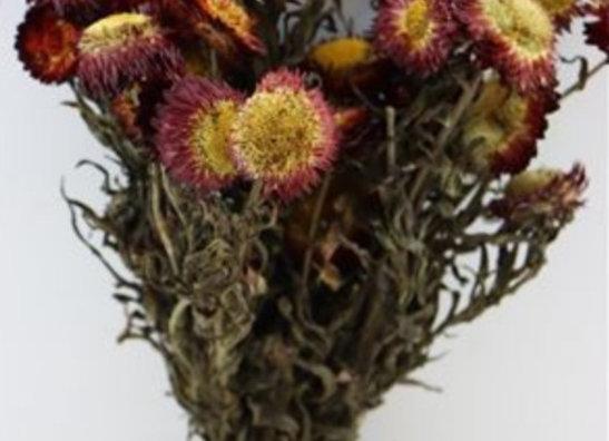 Dried helichrysum bundle