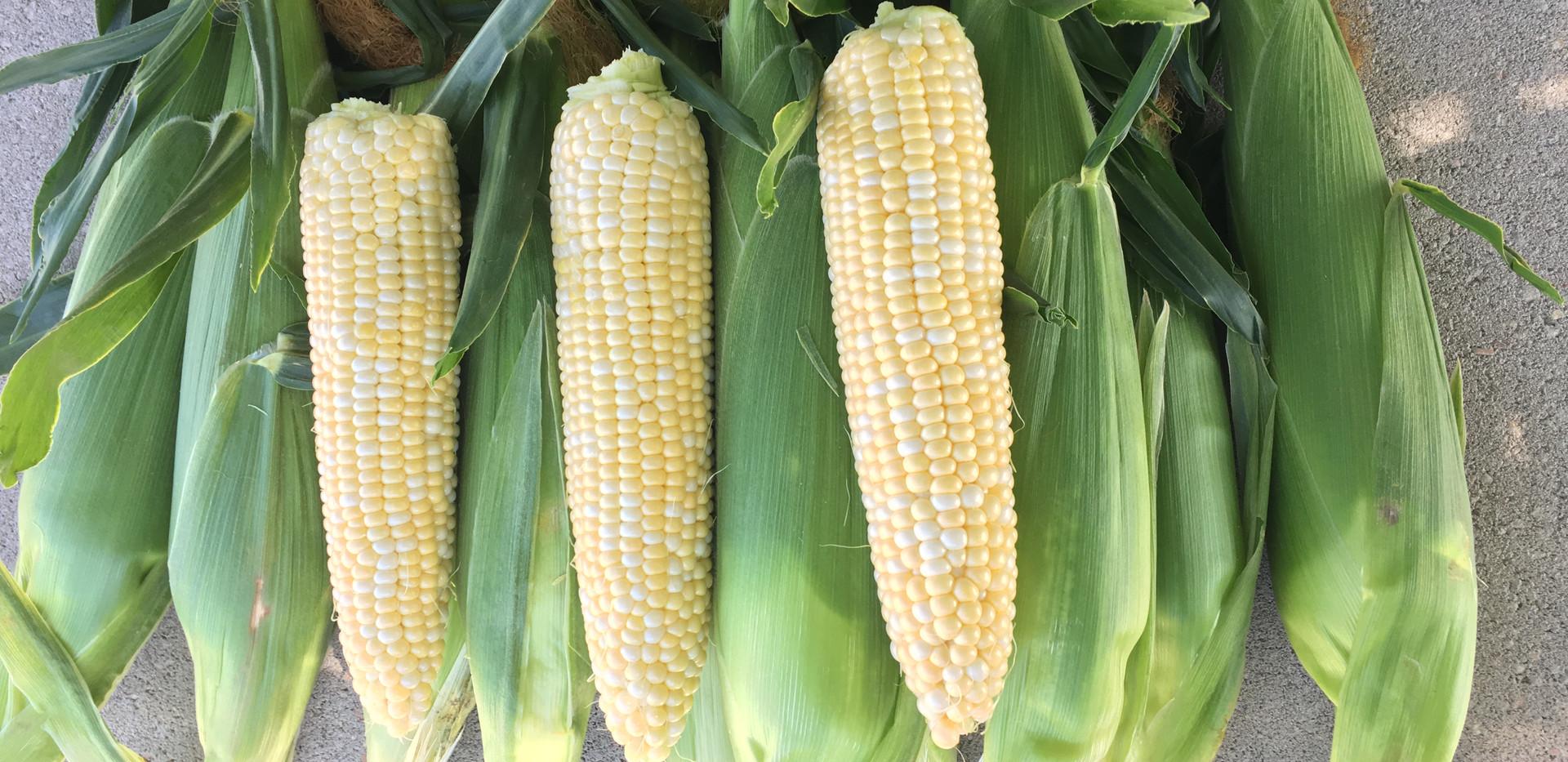 Sweat Corn 2.JPG