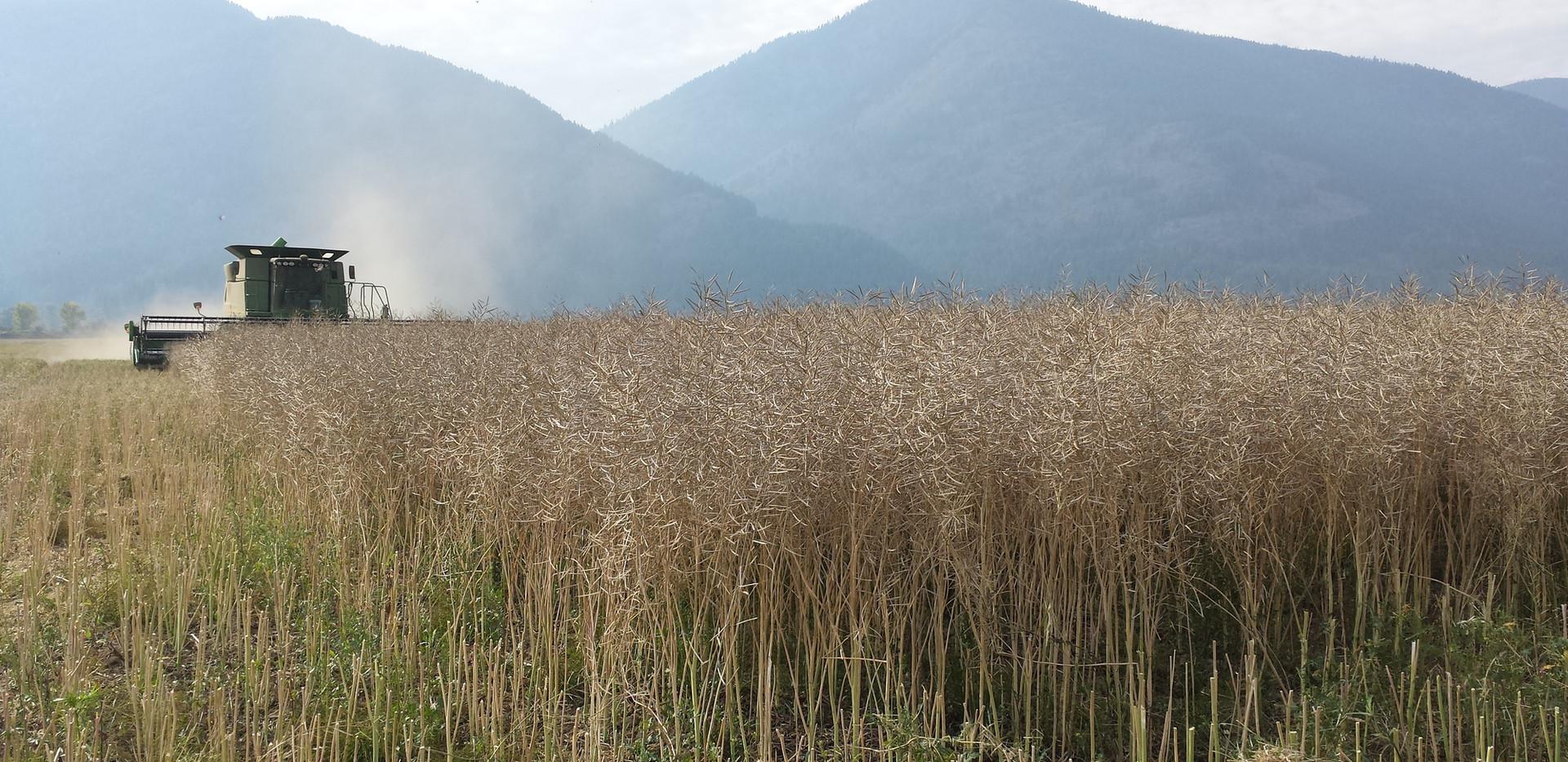 Canola harvest.jpg