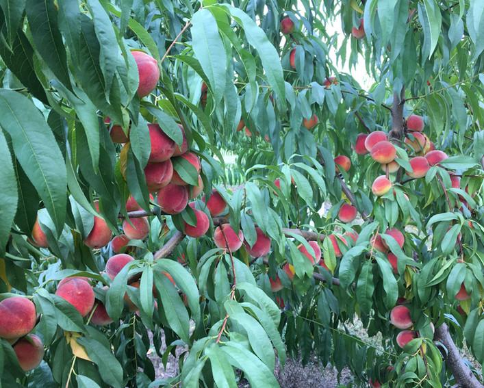 Peach Tree 1.JPG
