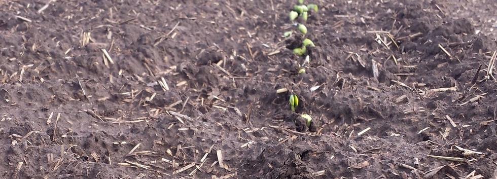 Soybeans emerging.jpg