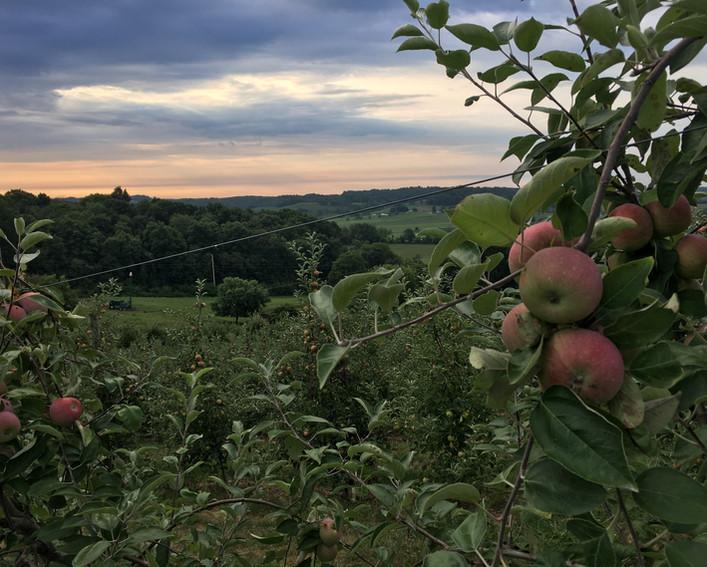 Apple Orchard.JPG