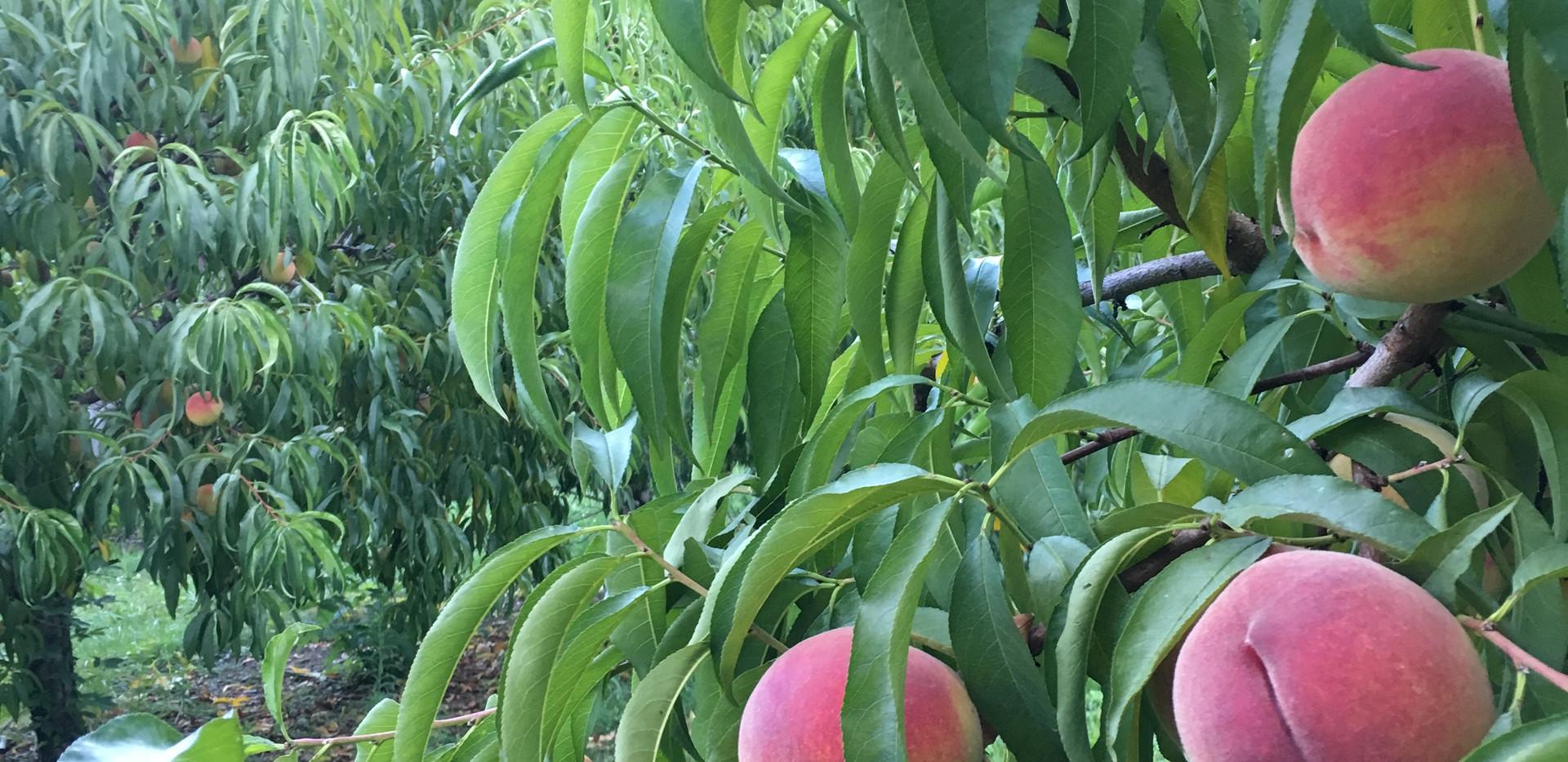 Close up Peaches.JPG