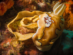 The beautiful Chromodoris Coi