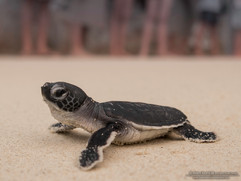 The Glorious Green Sea Turtles Adventure @ Turtle Watch Camp