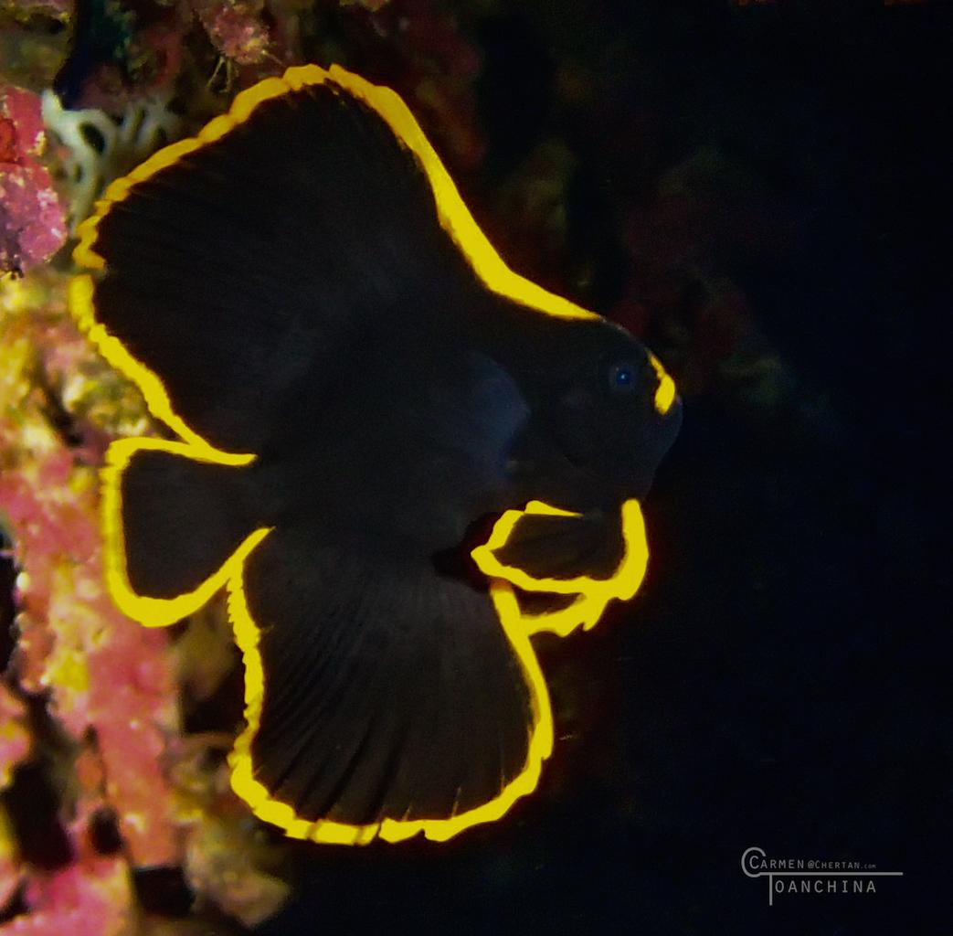 Juv. batfish