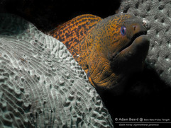 Garish Giant Moray