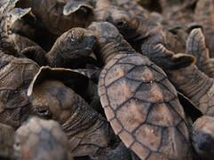 Hawsksbill Sea Turtle Release