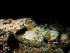 White Devil Scorpion Fish