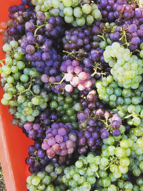 Spolu Grapes