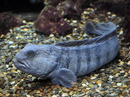 A Devil Fish- The Atlantic Wolffish