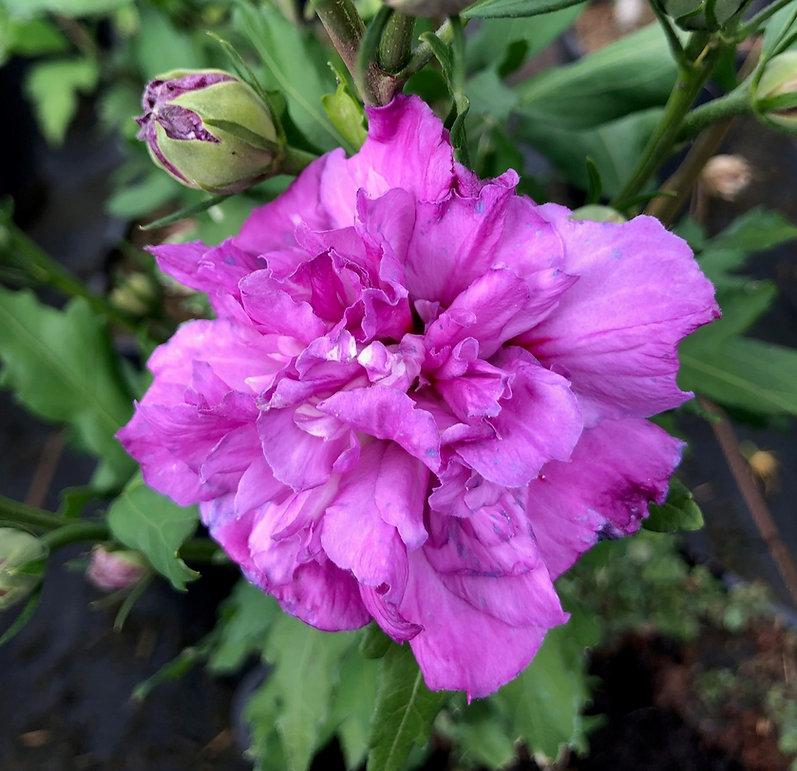 Hibiscus French cabaret purple 2.jpg