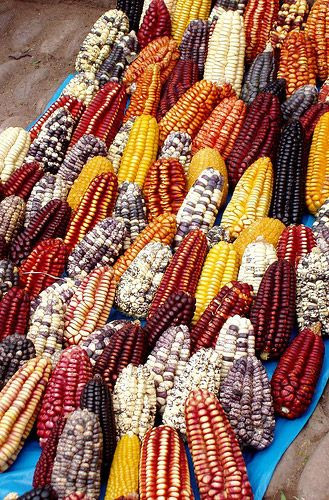 More that 1,000 of kind of corn