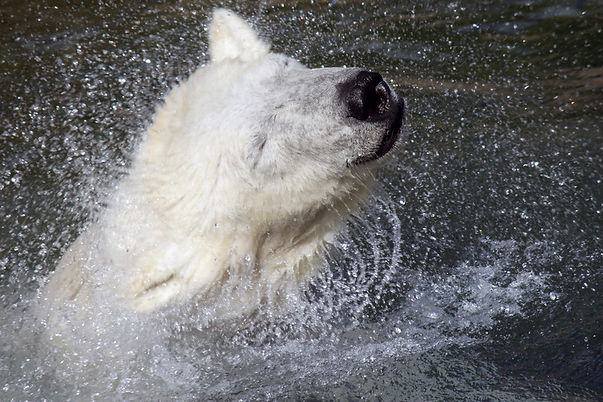 The powerful shaking of the polar bear removes traumatic memory at he end of the crisis for permanently