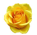 Download-Yellow-Rose-PNG-Transparent-Ima