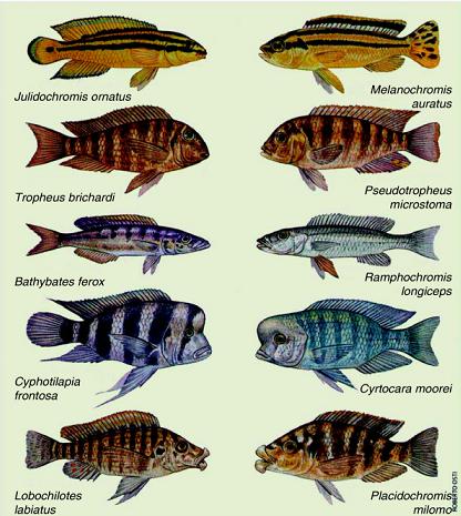 Evolución paralela entre el Lago Malawi y Lago Tanganyika