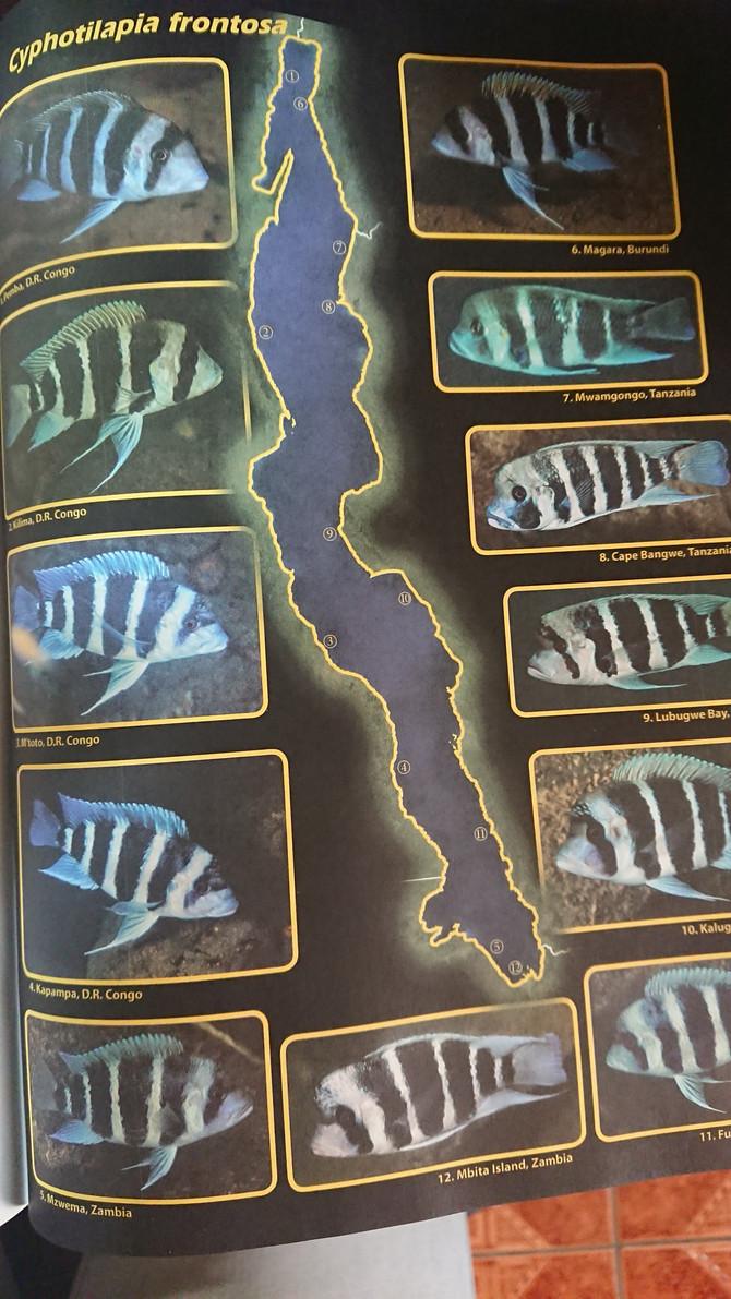 Traducción capitulo Cyphotilapia frontosa de la última edición de Tanganyika Cichlid in their natura