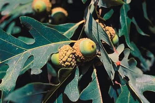 Oak, White Oak