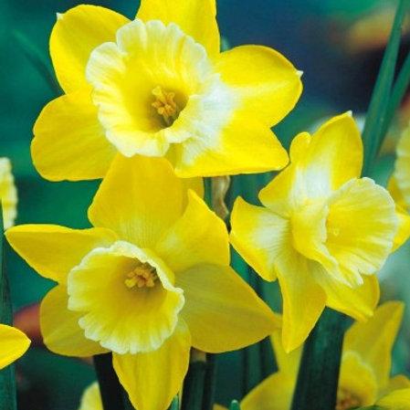 Daffodil 'Hillstar'