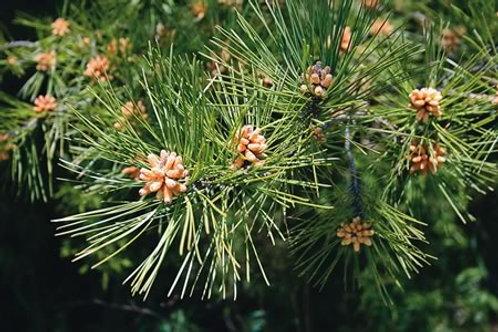 Pine, Shortleaf