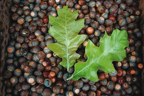Oak, Cherrybark Oak