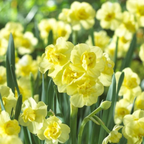 Daffodil 'Yellow Cheerfulness'