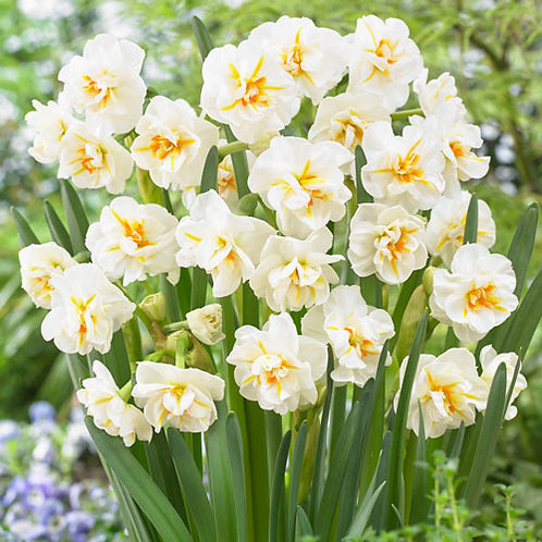 Daffodil 'Sir Winston Churchill'