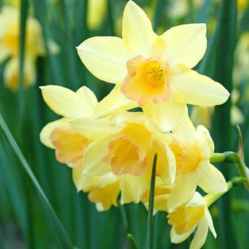 Daffodil 'Blushing Lady'