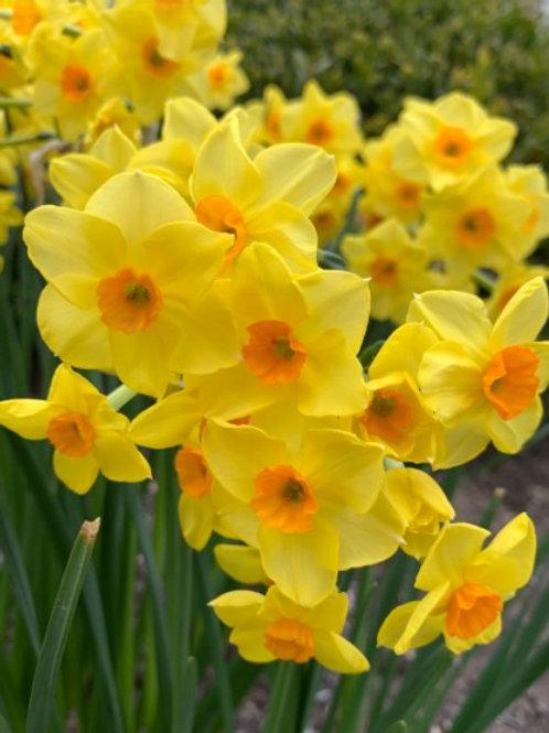 Daffodil 'Martinette'